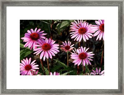 Coneflower Echinacea Purpurea Framed Print