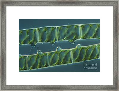 Conjugation In Spirogyra Algae, Lm 3 Framed Print by M. I. Walker
