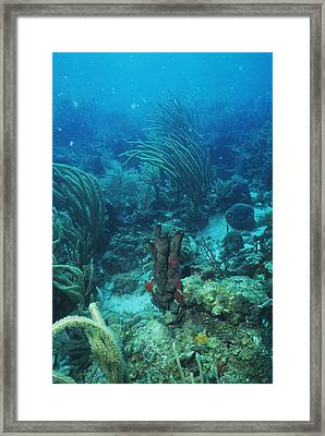 Corals Framed Print by Doug Allan