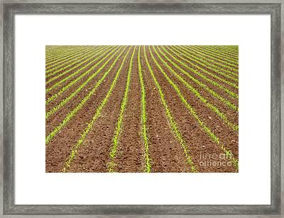 Corn Field Framed Print