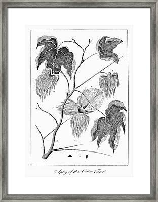Cotton Plant, 1796 Framed Print by Granger