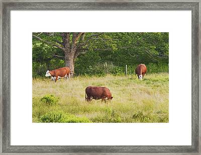 Cows Grazing In Field Rockport Maine Framed Print