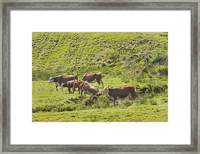 Cows Grazing On Grass In Farm Field Summer Maine Framed Print