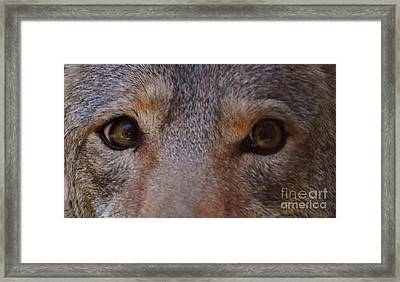 Coyote Eyes Framed Print by DiDi Higginbotham