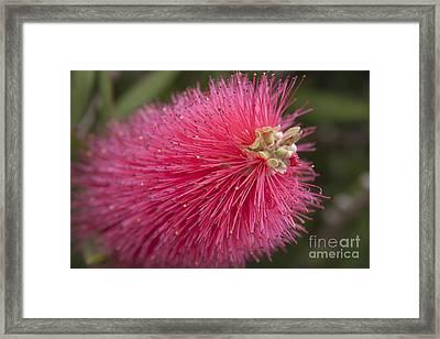 Crimson Bottlebrush - Callistemon Citrinus  Framed Print by Sharon Mau