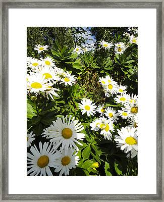 Crowd Of Daisies Framed Print by Guy Ricketts