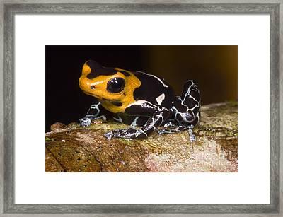 Crowned Poison Frog Framed Print
