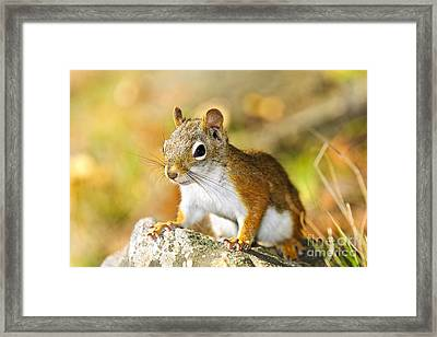 Cute Red Squirrel Closeup Framed Print by Elena Elisseeva