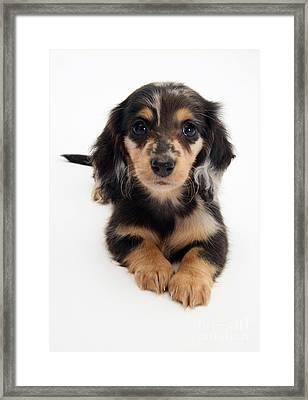 Dachshund Pup Framed Print by Jane Burton