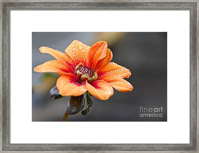 Dahlia In The Mist Framed Print by Sean Griffin