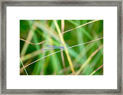 Framed Print featuring the photograph Damselfly On Balance Beam by Mary McAvoy
