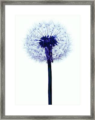 Dandelion Seed Head Framed Print by Victor De Schwanberg