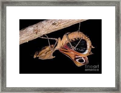 Dead Leaf Mantis Framed Print by Dant� Fenolio