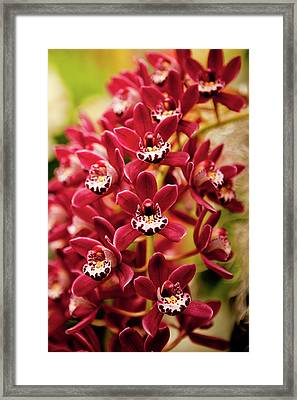 Deep Cut Orchid Society 15th Annual Orchid Show Framed Print by Dan Pfeffer