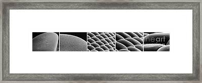 Deer Fly Eye, Sem Framed Print by Science Source