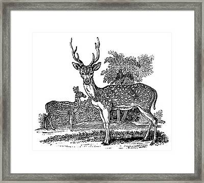 Deer Framed Print by Granger