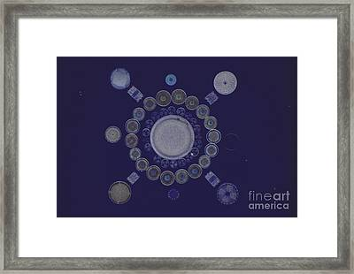 Diatom Arrangement Framed Print by M. I. Walker