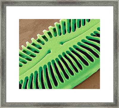 Diatom Frustule, Sem Framed Print by Steve Gschmeissner