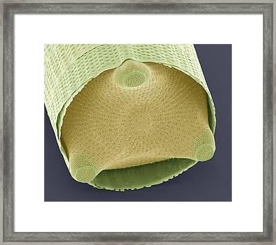 Diatom Shell, Sem Framed Print by Steve Gschmeissner