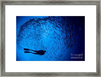 Diver And A Large School Of Bigeye Framed Print