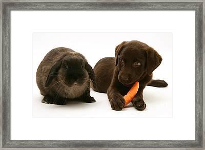 Dog Steals Rabbits Carrot Framed Print