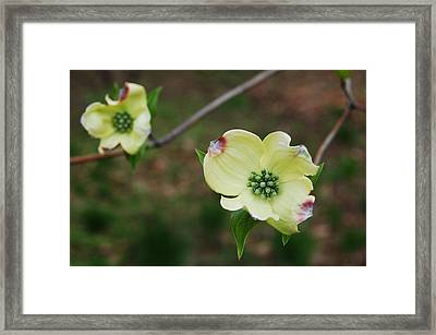 Dogwood Flowers Framed Print