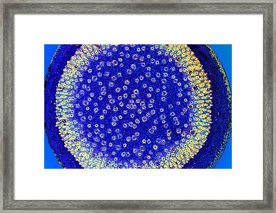 Dragon Tree Stem, Light Micrograph Framed Print by Dr Keith Wheeler