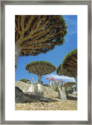 Dragon's Blood Trees Framed Print by Diccon Alexander