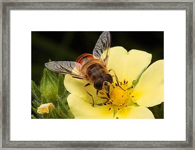 Drone Fly, Earistalis Framed Print by George Grall