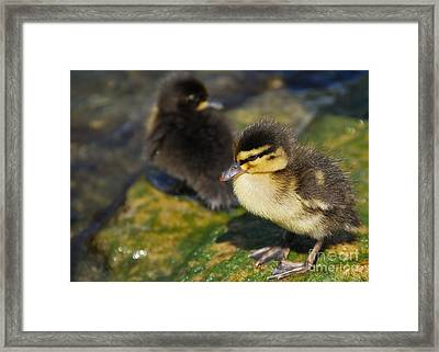 Ducklings Framed Print by Alan Clifford