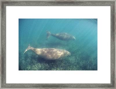 Dugongs Framed Print