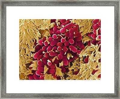 E Coli Bacteria, Sem Framed Print