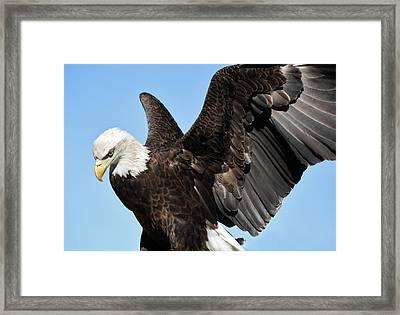 Eagle Framed Print by Paulette Thomas