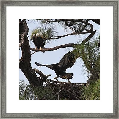 Eaglet First Flight Framed Print