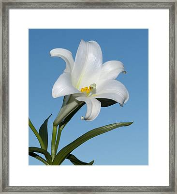 Easter Lily Framed Print by George Hawkins
