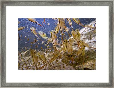 Eastern Fairy Shrimp Easterbrook Forest Framed Print by Piotr Naskrecki