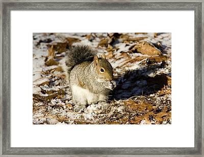 Eastern Gray Squirrel Sciurus Framed Print by Tim Laman