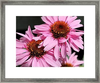 Echinacea Purpurea Or Purple Coneflower Framed Print by J McCombie