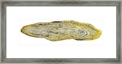 Eel Scale, Light Micrograph Framed Print by Dr Keith Wheeler
