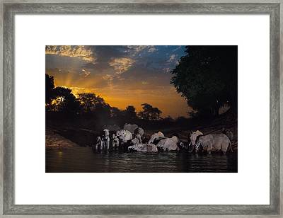 Elephants Drink At The Last Remaining Framed Print by Michael Nichols