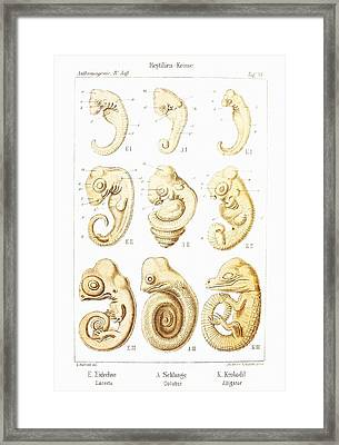 Embryonic Development, Historical Artwork Framed Print by Mehau Kulyk