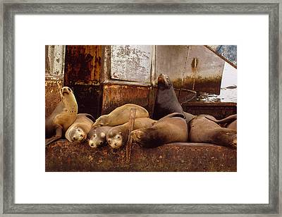 Ensenda Seals Framed Print by Josh Whalen