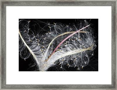 Epilobium Angustifolium Seeds Framed Print by Dr Keith Wheeler