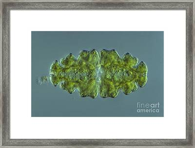 Euastrum Sp. Algae Lm Framed Print by M. I. Walker