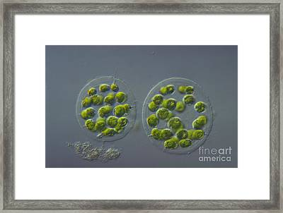 Eudorina Elegans, Green Algae, Lm Framed Print by M. I. Walker