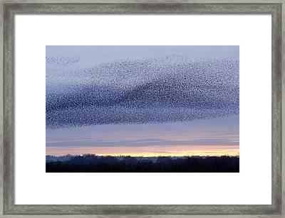 European Starling Flock Framed Print by Duncan Shaw
