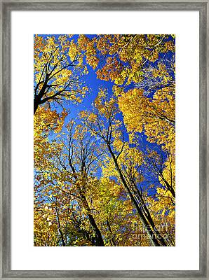 Fall Maple Trees Framed Print by Elena Elisseeva
