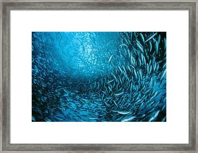 Farmed Sea Bass Framed Print by Alexis Rosenfeld