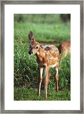 Fawn Framed Print by Rick Rauzi