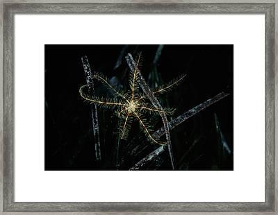 Featherstar Framed Print by Alexis Rosenfeld